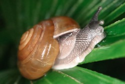 Snails are crawling awkwardly on the wet leaves in the forest when the rainy season.The brown snail is sucking on the water that is left on the leaf.Small animals moving by crawling.