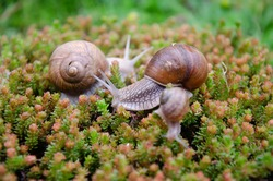 Snails in nature, family of snails in spring, macro photography of family snails