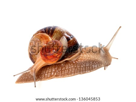 Snails on top of one another. Isolated on white background.
