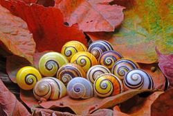 Snails : Polymita picta or Cuban snails one of most colorful and beautiful land snails in the wolrd from Cuba , its known as