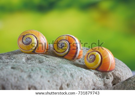 Snails : Polymita picta or Cuban snails one of most colorful and beautiful land snails in the wolrd from Cuba , its known as \