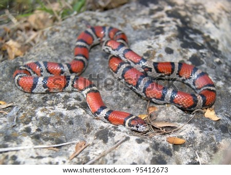 Snake - a dangerous looking coral snake mimic, Lampropeltis triangulum syspila
