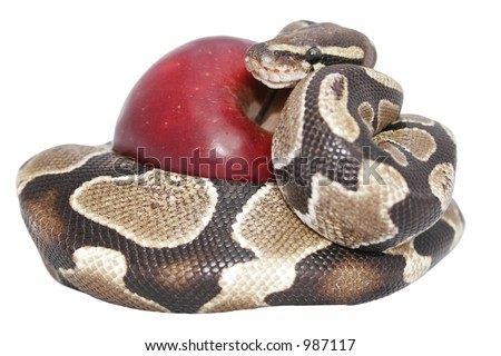 Snake and red apple isolated; temptation concept; includes clipping path