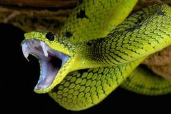 snake attack / Great lakes bush viper / Atheris nitschei