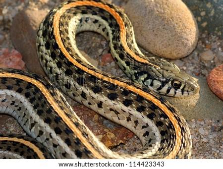 Snake basking in the setting sun, a coiled Plains Garter Snake, Thamnophis radix