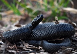 Snake black creeps  on leaves at the grass