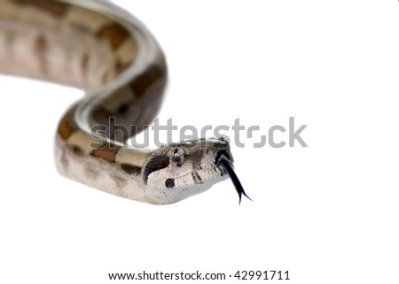 Snake Boa Constrictor isolated on white background.