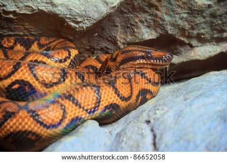 Snake,Brazilian rainbow Boa  ( Epicrates cenchia)