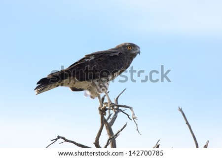 snake eagle birds typical African continent savannah lakes rivers wild birds africa kruger national park south africa