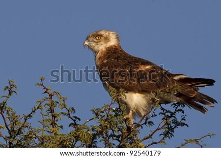 snake eagle perched on a bush