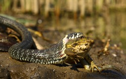 Snake eat frog