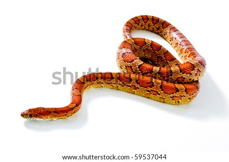 snake.elaphe guttata.young boa constrictor on a white background. - stock photo