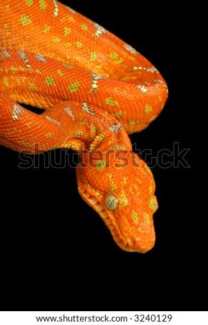 Snake, Emerald Tree Boa