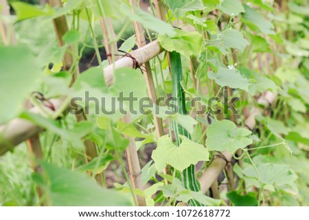 Snake gourd or Snake cucumber in vegetable garden #1072618772