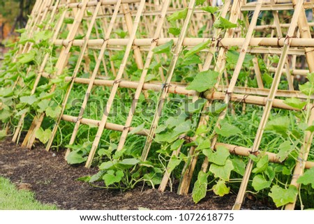 Snake gourd or Snake cucumber in vegetable garden #1072618775