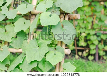 Snake gourd or Snake cucumber in vegetable garden #1072618778