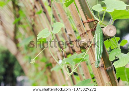 Snake gourd or Snake cucumber in vegetable garden #1073829272