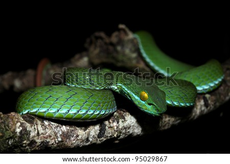 snake (green pit viper) in forest