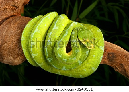 Snake, Green Tree Python Stock Photo 3240131 : Shutters