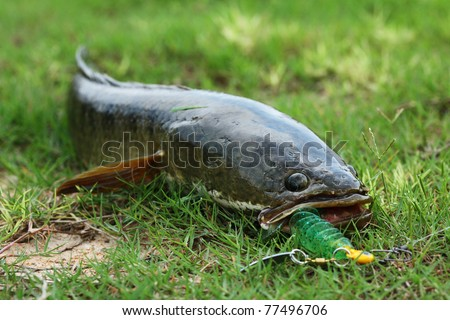 Snake head fish catched by lure stock photo 77496706 for Snake fishing lure