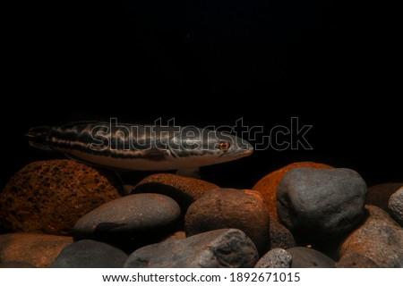 Snake Head Toman fish on rock underwater  Imagine de stoc ©