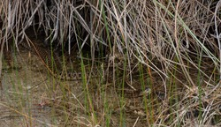 Snake Hiding in Everglades Marsh under water and grasses