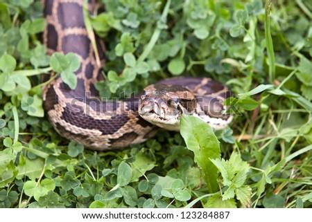 Snake in a grass