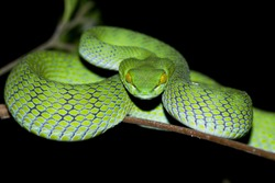 Snake in nature,Green or Asian pit viper,Trimeresurus (Viperidae)