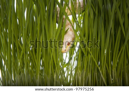 Snake in the grass isolated on white