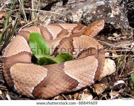 Snake in the pit viper family - Osage Copperhead, Agkistrodon contortrix phaeogaster -