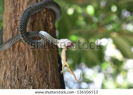 Snake is eating gecko.