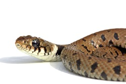 snake isolated on a white background