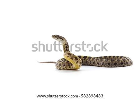 snake isolated on white background #582898483