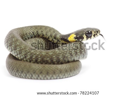 snake isolated on white background - stock photo