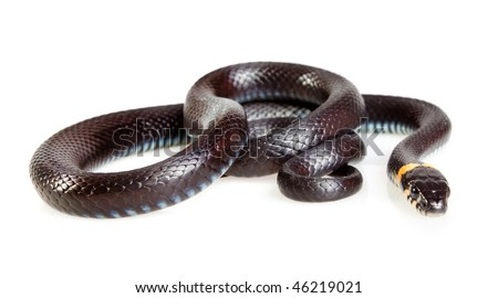 Snake isolated on white background. Grass Snake (Natrix natrix).