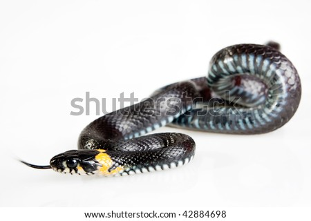 Snake isolated on white background. Grass Snake (Natrix natrix). It is not being venomous, but produce a foul-smelling fluid.