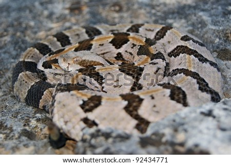 Snake lying in wait - Timber Rattlesnake, Crotalus horridus