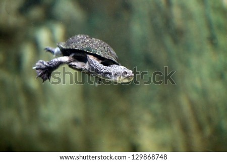 Stock Photo snake-necked turtle