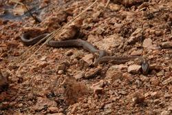 Snake on a rocky beach