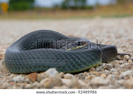 Snake on the road in danger of traffic - Eastern Yellow-bellied Racer, Coluber constrictor flaviventris