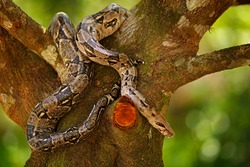 Snake on the tree trunk. Boa constrictor snake in the wild nature, Belize. Wildlife scene from Central America. Travel in Central America. Dangerous viper from jungle.
