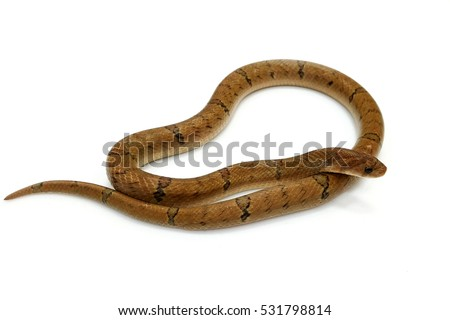 Snake on white background (Banded Kukri Snake)