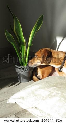 Snake plant and brown dog