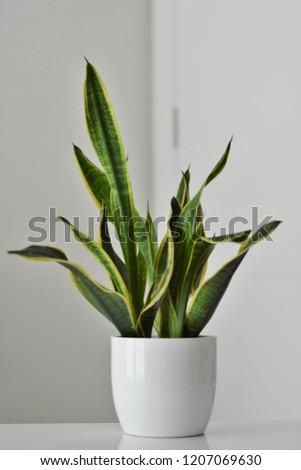 Snake plant in a white ceramic pot