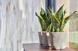 Snake plants in pots on light grey grunge background