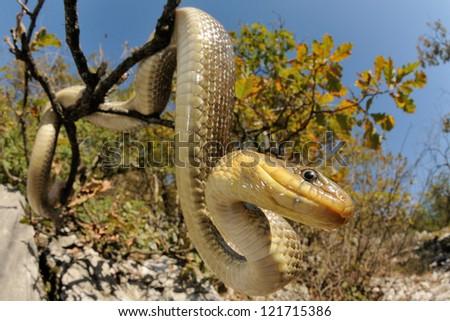 Snake portrait (Vipera berus, male)
