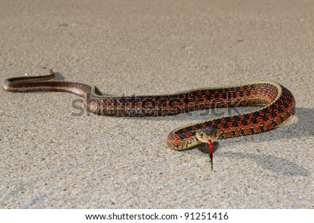 Snake ready to strike, Red-sided Garder Snake, Thamnophis sirtalis parietalis - stock photo