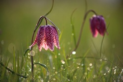 Snake's head fritillary (Fritillaria meleagris) close-up view growing in field
