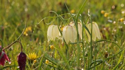 Snake's head fritillary (Fritillaria meleagris) in white color close-up view growing in field