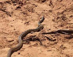 Snake slithering on by in the desert